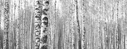 Bagażniki brzoz drzewa, czarny i biały naturalny tło Zdjęcia Stock