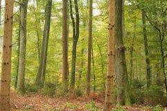 Bagażniki drzewa w mieszanym lesie obraz royalty free