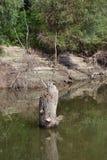 Bagażniki, gałąź, nieżywy drzewo na rzece Fotografia Royalty Free