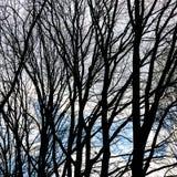 Bagażniki nadzy drzewa nad nieba tłem Zdjęcie Stock