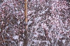 Baga de Rowan dos ramos coberta com a neve e a geada Fotografia de Stock Royalty Free