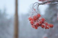 A baga de Rowan dos ramos cobriu a neve e a hoar-geada Fotografia de Stock