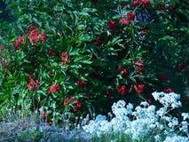 Baga de sabugueiro vermelha pacífica e eterno perolado Fotografia de Stock Royalty Free
