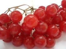 Baga do inverno Viburnum vermelho em um fundo branco O ramo do viburnum Imagens de Stock Royalty Free