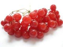 Baga do inverno Viburnum vermelho em um fundo branco O ramo do viburnum Fotografia de Stock Royalty Free
