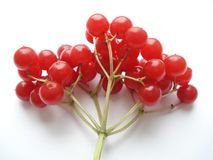 Baga do inverno Viburnum vermelho em um fundo branco O ramo do viburnum Fotos de Stock