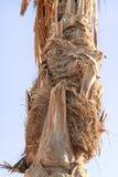 Bagażnik drzewko palmowe Zdjęcia Royalty Free