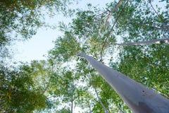 Bagażnik eucaliptus drzewa Obraz Royalty Free