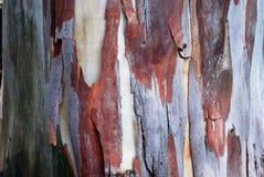 Bagażnik eukaliptus Zdjęcia Royalty Free