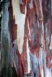 Bagażnik eukaliptus Zdjęcia Stock