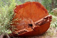 Bagażnik Gigantyczny Czerwony Tingle, zachodnia australia Zdjęcie Royalty Free