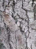 Bagażnik stary drzewo Obrazy Stock