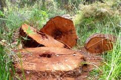 Bagażniki Gigantyczny Czerwony Tingle, zachodnia australia Zdjęcie Stock
