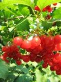 Baga vermelha do viburnum Imagem de Stock