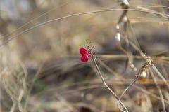 Baga vermelha na floresta do outono fotografia de stock