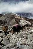 Bagagiste et yaks de Sherpa Images stock