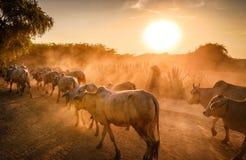 Bagan缅甸农夫和母牛在日落 免版税库存照片