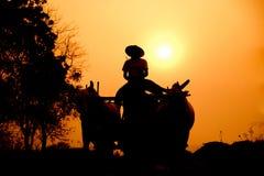 BAGAN, МЬЯНМА: Бирманская сельская дорога, 2 белых коровы вытягивая wo Стоковые Изображения RF