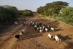 缅甸语在Bagan,缅甸带来走在路的母牛和山羊 免版税库存照片