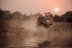 BAGAN, MYANMAR: Birmańska wiejska droga, dwa krów biały ciągnąć Fotografia Royalty Free
