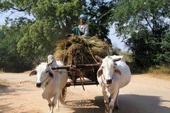 BAGAN, MYANMAR - DECEMBER 21. 2015: Burmese woman sitting on hay bales guiding an ox cart through rural area royalty free stock photo
