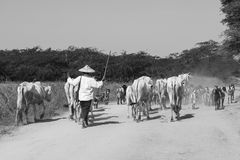 Bagan, Myanmar, December 28 2017: A herd of cows is driven on a dusty road. Bagan, Myanmar, December 28 2017: A herd of cows is driven on a dusty country road by Stock Photos