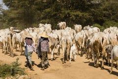 Bagan, Myanmar, el 28 de diciembre de 2017: Una manada de vacas es aumentada por dos granjeros fotos de archivo
