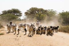 Bagan, Myanmar, Grudzień 28 2017: Krowa i koźli stado biegamy na drodze Zdjęcie Royalty Free
