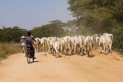 Bagan, Myanmar, Grudzień 28 2017: Krowy stado towarzyszą chłopiec Zdjęcia Royalty Free
