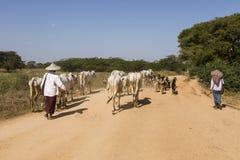 Bagan, Myanmar, Grudzień 28 2017: Stado kózki i krowa towarzyszą rolnikami Obrazy Stock