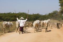 Bagan, Myanmar, Grudzień 28 2017: Stado krowy jadą na wiejskiej drodze Zdjęcie Stock