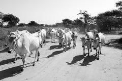 Bagan, Myanmar, Grudzień 28 2017: Stado krowy biega na zakurzonej drodze Obrazy Royalty Free