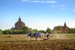 Bagan, Myanmar - 1 July, 2015: Farmer works on the field with co Royalty Free Stock Photography