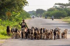Burmese herder leads goat herd in field Burma Royalty Free Stock Image