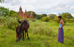 BAGAN, MYANMAR- SEPTEMBER 12, 2016: A cowherd with his cows next to one of the many pagodas of Bagan, Myanmar Royalty Free Stock Photos