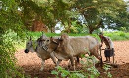 BAGAN, MYANMAR 2 SETTEMBRE 2016: L'agricoltore birmano con i buoi ed il carretto che ara sul riso sistemano Immagine Stock Libera da Diritti