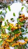 Bagas alaranjadas cobertas com a neve foto de stock