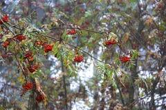 Bagas alpinas vermelhas Imagens de Stock