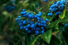 Bagas azuis Fotografia de Stock