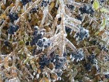 Bagas azuis e folhas e galhos verdes sob o gelo grosso imagens de stock royalty free