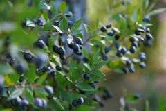 Bagas azuis maduras em filiais do myrtle Fotos de Stock