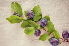 Bagas azuis maduras frescas do close up no ramo Imagens de Stock Royalty Free