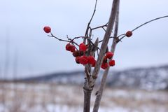 Bagas congeladas em uma árvore imagem de stock royalty free
