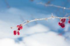 Bagas da bérberis em um ramo na geada e nos cristais de gelo Imagens de Stock