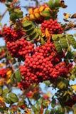 Bagas da cinza selvagem vermelha Fotos de Stock Royalty Free