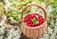 Bagas da floresta Airela suculenta madura na cesta de vime na floresta do outono Foto de Stock Royalty Free