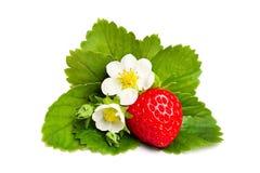Bagas da morango e folhas e flor vermelhas do verde Fotos de Stock Royalty Free
