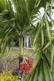 Bagas da palmeira vermelhas na cor Imagem de Stock Royalty Free