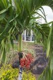 Bagas da palmeira vermelhas na cor Fotos de Stock