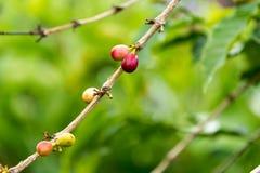 Bagas de café em um ramo de árvore Fotos de Stock